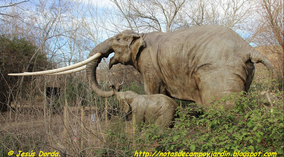 Straight tusked elephants once dominated the British ecosystem