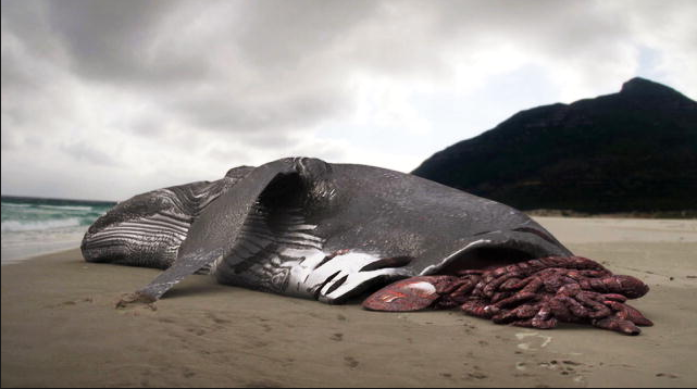 "The photo of a whale carcass which Discovery claims to have ""found""."