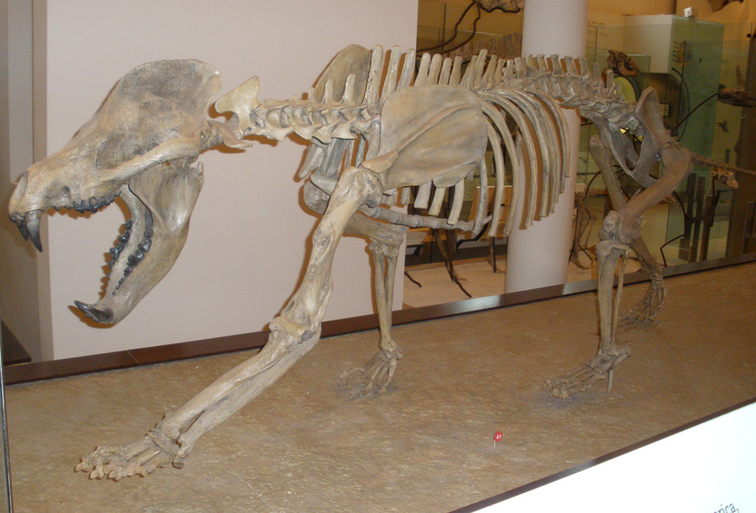 "Amphicyonid (""bear dog"") skeleton"