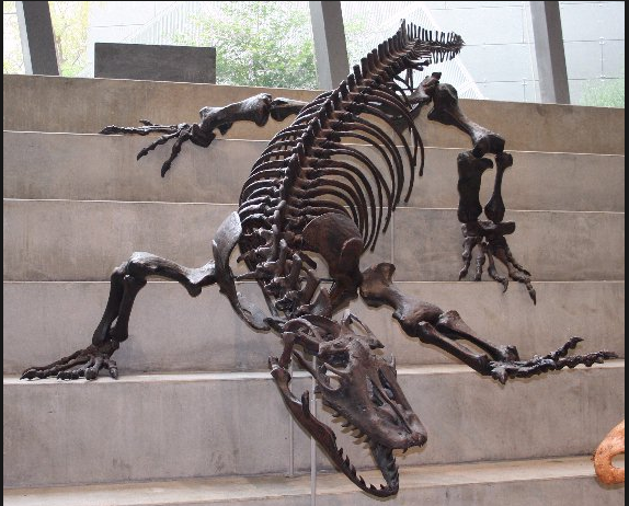 Giant monitor lizard skeleton