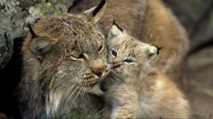 Lynx and cub. Photo: Norbert Rosing.